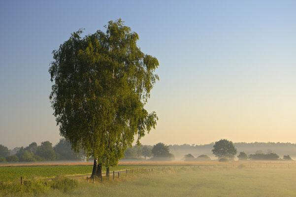 Birken im Morgenlicht