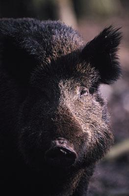 Wildschwein Portrait (c)