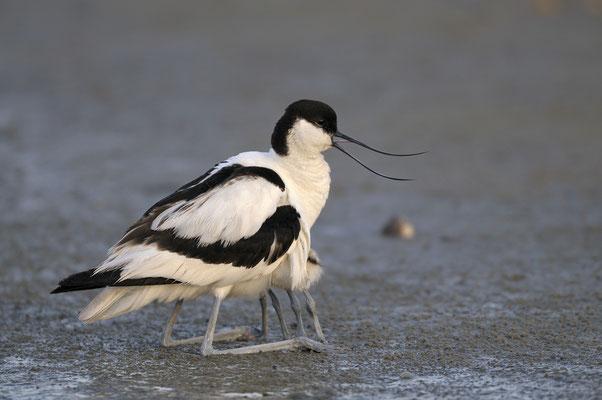 Säbelschnäbler hudert Jungvögel (NL)