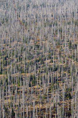 Toter und neuer Wald, NP Sumava (CZ)
