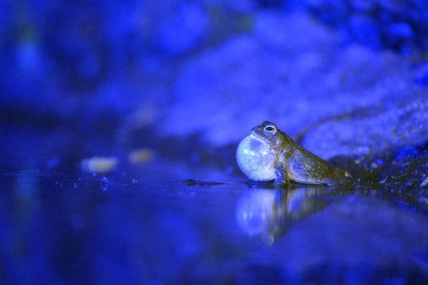Kreuzkrötenmännchen (Bufo calamita) mit blauer Beleuchtung