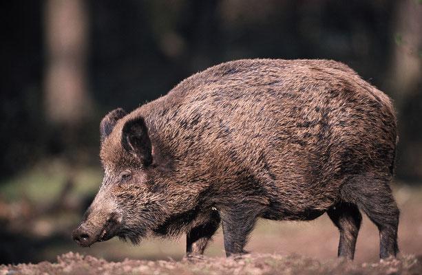 Wildschwein (c)
