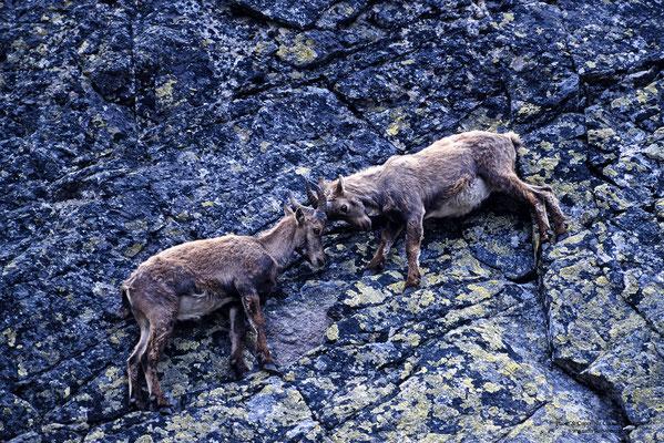 Alpensteinbock (Capra ibex), Jungtiere