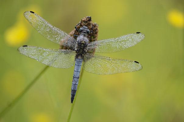 Großer Blaupfeil, Männchen (Orthetrum cancellatum)