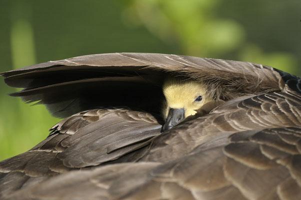 Kanadagans (Branta canadensis), Jungvogel
