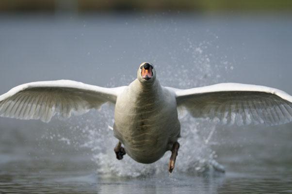 Höckerschwan im Anflug