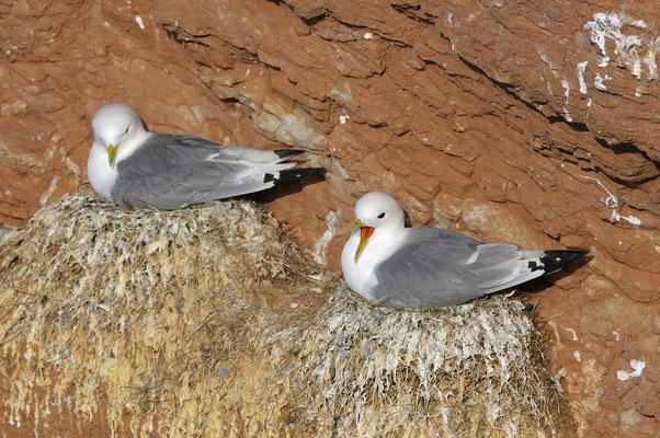 Dreizehenmöwen (Rissa tridactyla) auf dem Nest