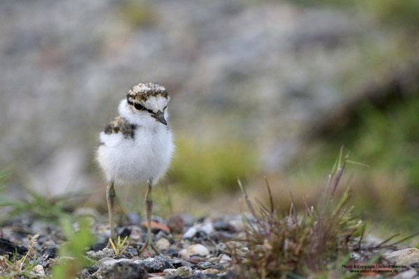 Flussregenpfeifer (Charadrius dubius), Jungvogel