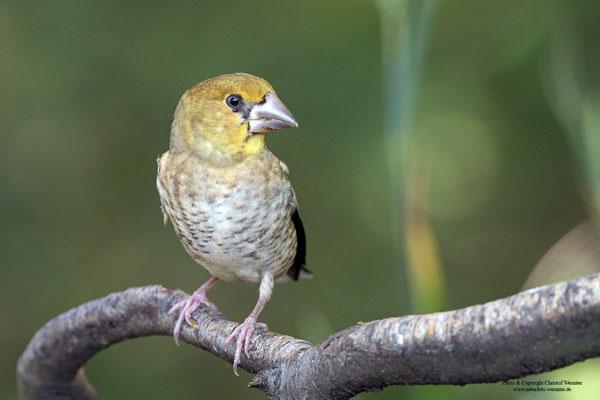 Kernbeißer (Coccothraustes coccothraustes), Jungvogel