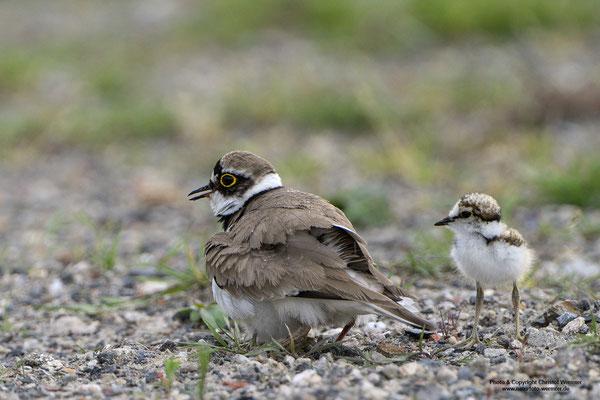 Flussregenpfeifer (Charadrius dubius) hudert Jungvögel