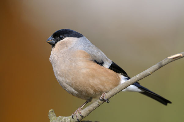 Gimpel (Pyrrhula pyrrhula), Weibchen