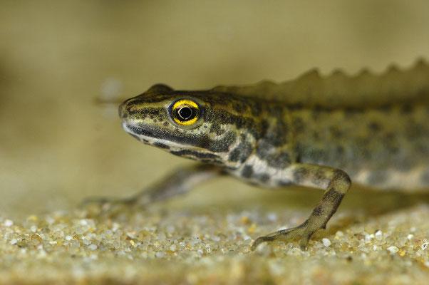 Teichmolch (Triturus vulgaris), Männchen im Balzkleid