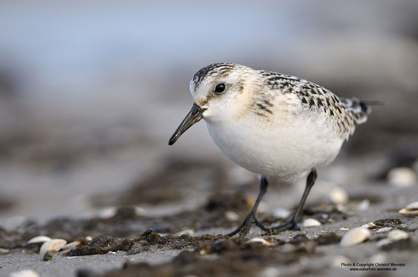 Sanderling (Calidris alba)