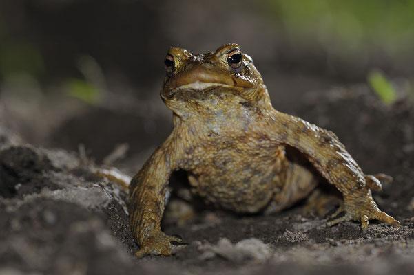 Erdkrötenmännchen (Bufo bufo)