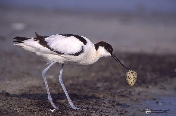 Säbelschnäbler (Recurvirostra avosetta), entsorgt Eischale
