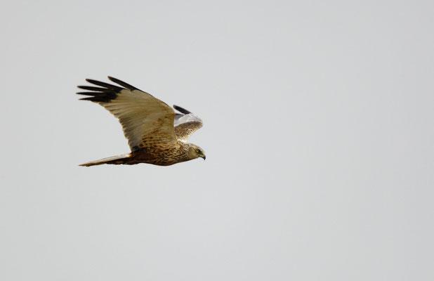 Rohrweihe (Circus aeruginosus), Männchen