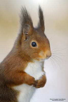 Eichhörnchen (Sciurus vulgaris), Portrait