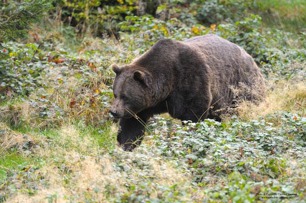 Braunbär (Ursus arctos) (c)