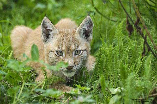 Luchs ( Lynx lynx) Jungtier (c)