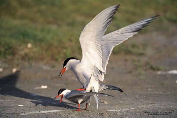 Flussseeschwalbe (Sterna hirundo), Kopula