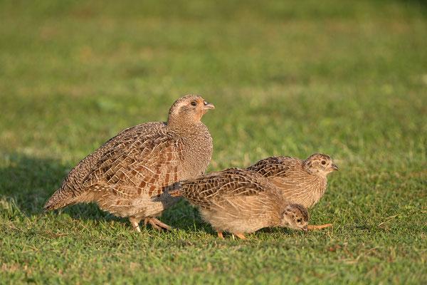 Rebhuhn (Perdix perdix), Henne und Jungvögel