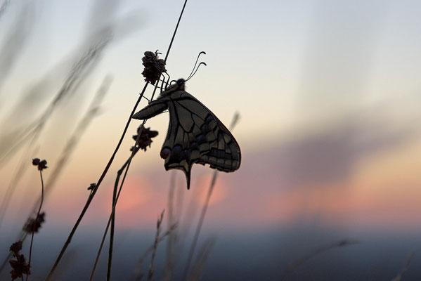 Schwalbenschwanz (Papilio machaon) am Schlafplatz
