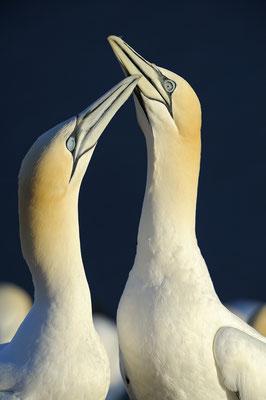 Basstölpelpaar (Morus bassanus), Begrüßung