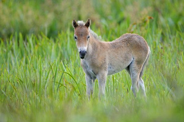 Exmoor-Pony Fohlen im NP Duinen van Texel
