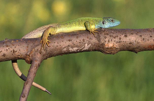 Smaragdeidechse, Männchen (Lacerta viridis)