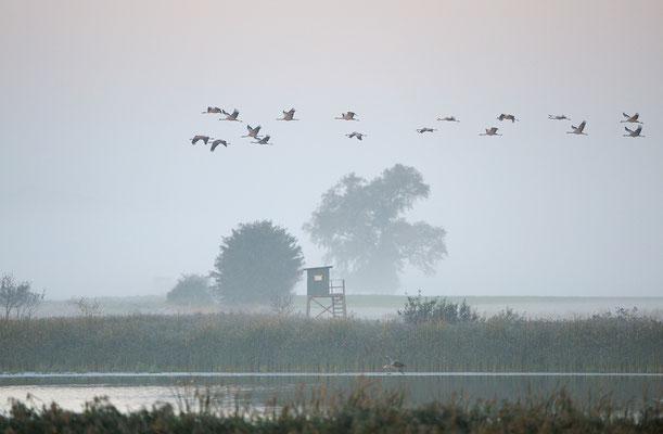 Kraniche mit Morgennebel, Günzer See (D)