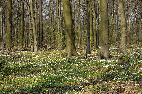 Waldboden mit Buschwindröschen