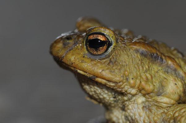 Erdkrötenmännchen (Bufo bufo) Portrait