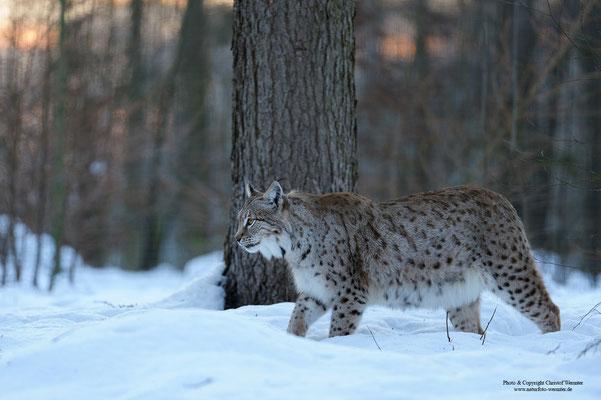 Luchs ( Lynx lynx) (c)