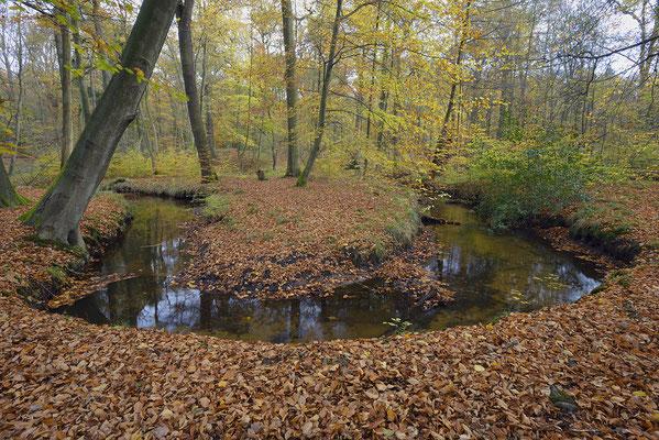 Bach im herbstlichen Buchenwald