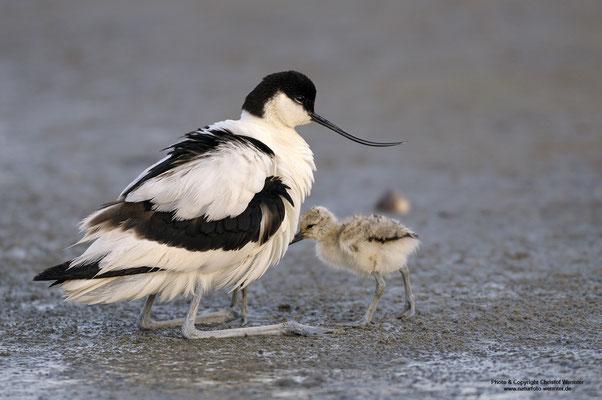 Säbelschnäbler (Recurvirostra avosetta), hudert Jungvögel
