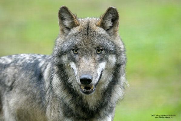Wolf (Canis lupus) Portrait (c)