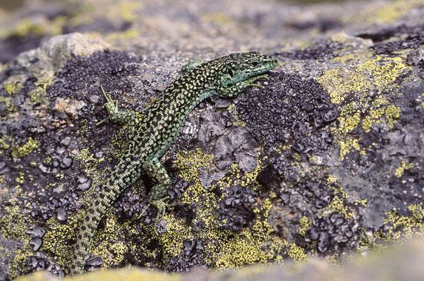 Iberische Gebirgseidechse, Männchen (Iberolacerta monticola)