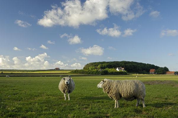 Schafe am Hoge Berg