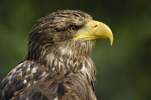 Seeadler (Haliaeetus albicilla), Jungvogel (C)