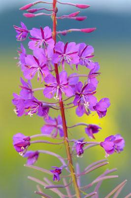 Schmalblättriges Weidenroeschen  (Chamaenerion augustifolium)
