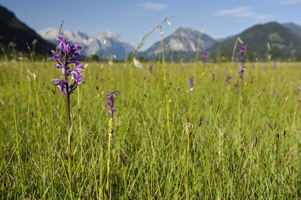 Flachmoor mit Traunsteiner Knabenkraut (Dactylorhiza traunsteineri)