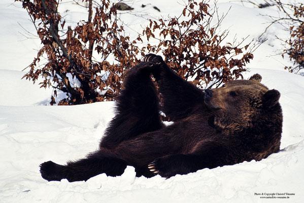 Braunbär (Ursus arctos) Weibchen (c)
