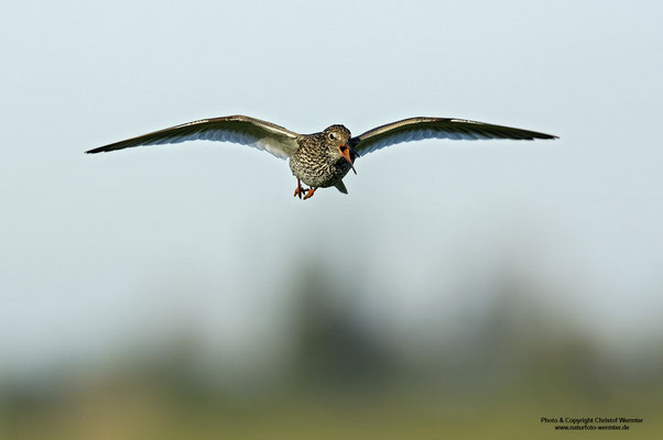 Rotschenkel (Tringa totanus) im Flug