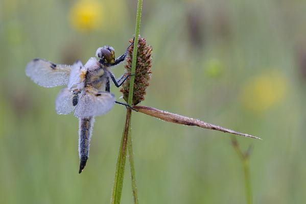 Vierfleck (Libellula quadrimaculata)