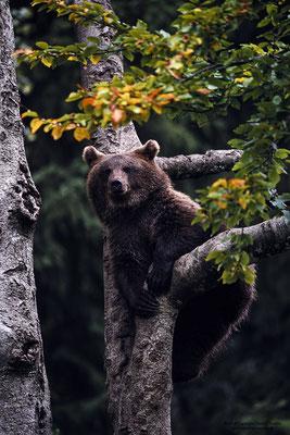 Braunbär (Ursus arctos) Jungtier (c)