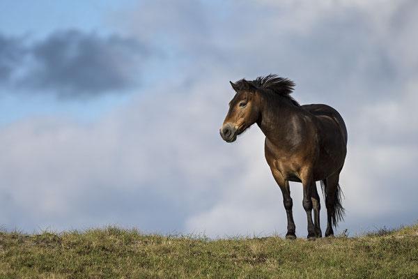 Exmoor-Pony im NP Duinen van Texel