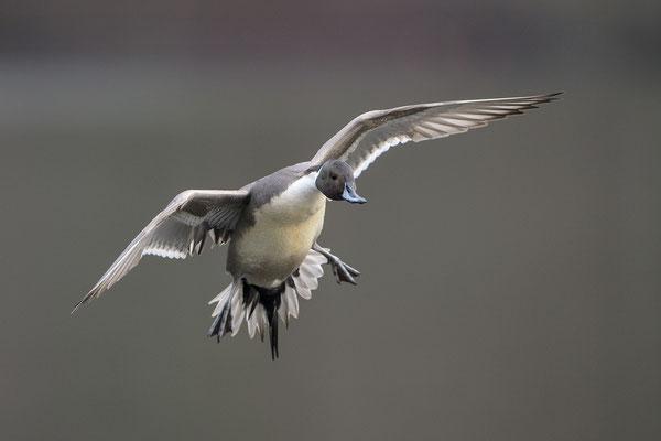 Spießente (Anas acuta), Erpel im Flug