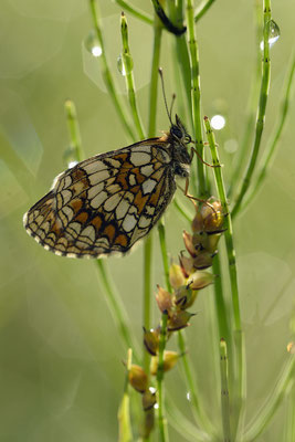 Gemeiner Scheckenfalter (Melitaea athalia)