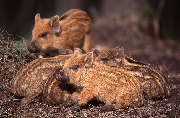 Wildschwein (Sus scrofa), Frischlinge (c)