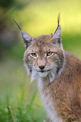 Luchs ( Lynx lynx) Portrait (c)